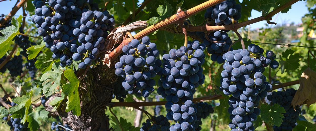 Sloveense druiven