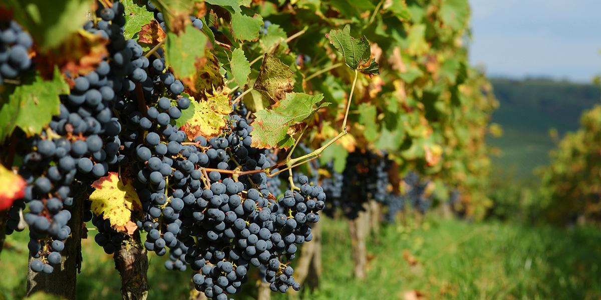 blauwe druiven frankrijk