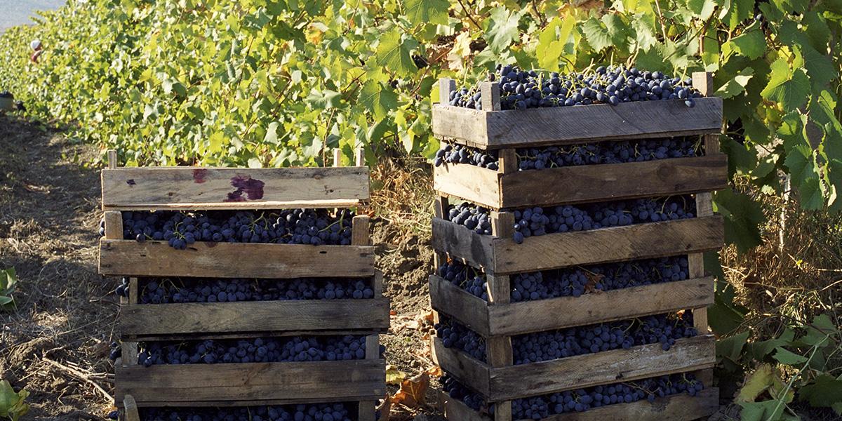 Geoogste blauwe druiven