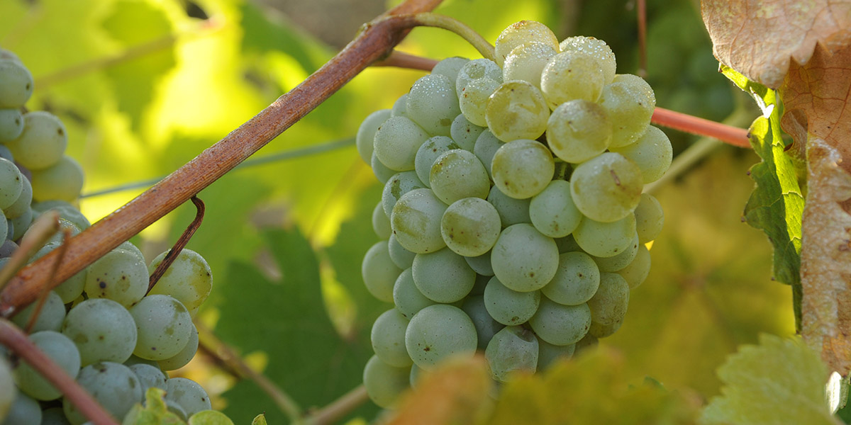 Sauvignon Blanc druif Frankrijk
